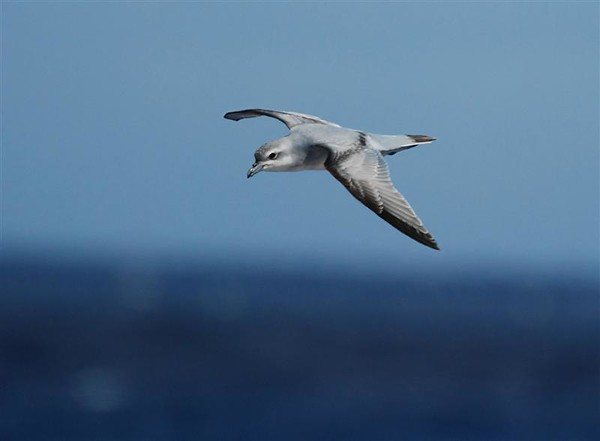 "Fulmar Prion<div id=""caption_tourlink"" align=""right"">Link to: <a id=""caption_tourlink"" href=""http://www.fieldguides.com/nzsubantarctic.htm"" target=""_blank"">PENGUINS, PETRELS & ALBATROSSES: CRUISING NZ'S SUBANTARCTIC ISLANDS</a><br>[photo © participant Angus Hogg]</div>"