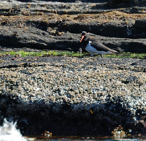 "Chatham Oystercatcher<div id=""caption_tourlink"" align=""right"">Link to: <a id=""caption_tourlink"" href=""http://www.fieldguides.com/nzsubantarctic.htm"" target=""_blank"">PENGUINS, PETRELS & ALBATROSSES: CRUISING NZ'S SUBANTARCTIC ISLANDS</a><br>[photo © participant Angus Hogg]</div>"