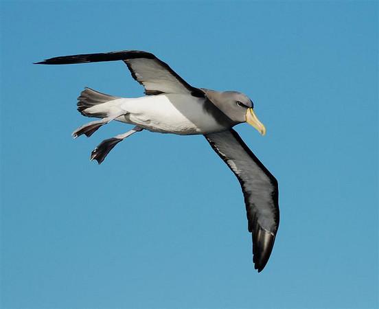 "Shy (Chatham Island) Albatross<div id=""caption_tourlink"" align=""right"">Link to: <a id=""caption_tourlink"" href=""http://www.fieldguides.com/nzsubantarctic.htm"" target=""_blank"">PENGUINS, PETRELS & ALBATROSSES: CRUISING NZ'S SUBANTARCTIC ISLANDS</a><br>[photo © participant Angus Hogg]</div>"