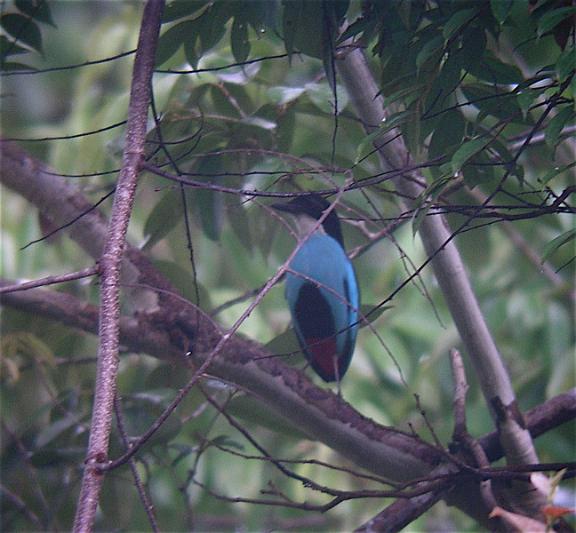 "Azure-breasted Pitta <div id=""caption_tourlink"" align=""right""> [photo © guide Dave Stejskal]</div>"