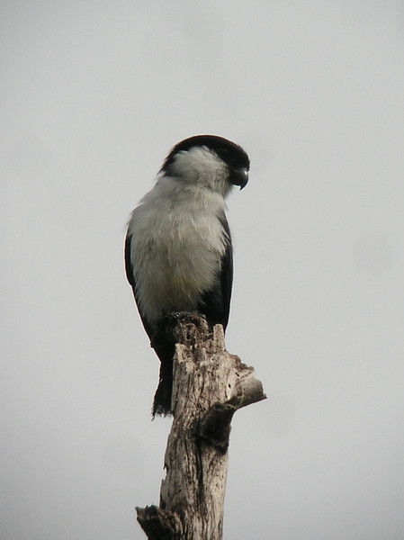 "Philippine Falconet <div id=""caption_tourlink"" align=""right""> [photo © guide Dave Stejskal]</div>"