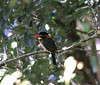 "Blue-capped Kingfisher <div id=""caption_tourlink"" align=""right""> [photo © guide Dave Stejskal]</div>"