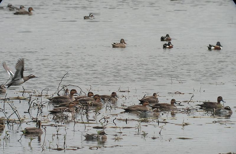 "Philippine Ducks <div id=""caption_tourlink"" align=""right""> [photo © guide Dave Stejskal]</div>"
