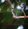 "Blue-throated Bee-eater <div id=""caption_tourlink"" align=""right""> [photo © guide Dave Stejskal]</div>"