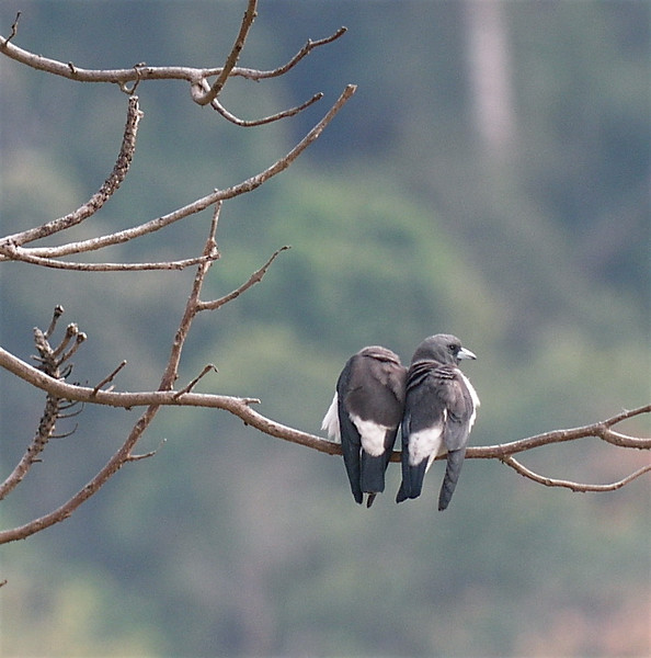 """White-breasted Woodswallows <div id=""""caption_tourlink"""" align=""""right""""> [photo © guide Dave Stejskal]</div>"""