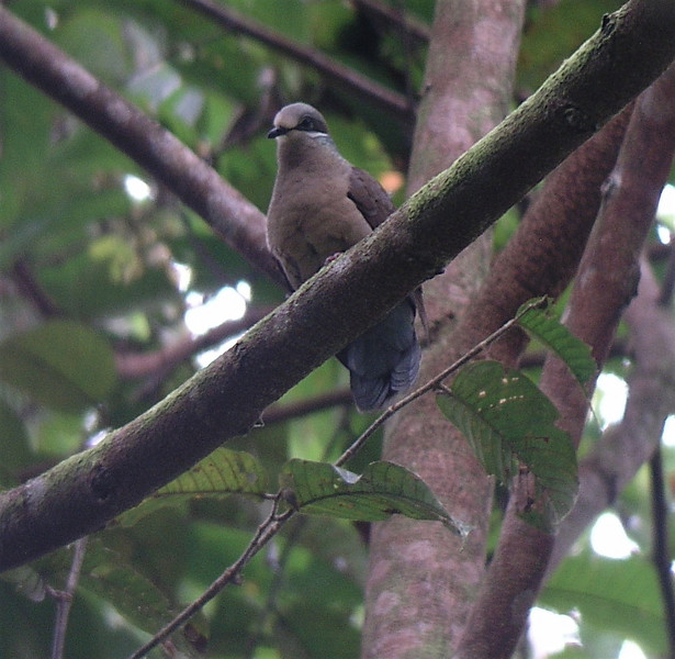 "White-eared Dove <div id=""caption_tourlink"" align=""right""> [photo © guide Dave Stejskal]</div>"