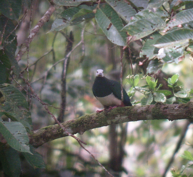 "Pink-bellied Imperial-Pigeon <div id=""caption_tourlink"" align=""right""> [photo © guide Dave Stejskal]</div>"