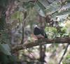 "Pink-bellied Imperial-Pigeon <div id=""caption_tourlink"" align=""right""> [photo © guide Dave Stejskal]</div>"