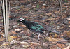 "Palawan Peacock-Pheasant <div id=""caption_tourlink"" align=""right""> [photo © guide Dave Stejskal]</div>"