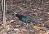 "Palawan Peacock-Pheasant <div id=""caption_tourlink"" align=""right""> [photo © guide Dave Stejskal]</div>"