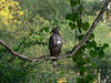 "Changeable Hawk-Eagle <div id=""caption_tourlink"" align=""right""> [photo © participant Marge Barrett]</div>"