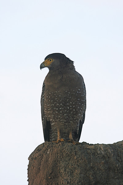 Crested Serpent-Eagles are a regular sight on the tour; this one seemed to be guarding the entrance to Bundala NP.  (Photo by Megan Crewe)