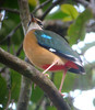 Yeah, it's a little fuzzy. But it was our first Indian Pitta, so I was going to take its picture, even if it WAS a little too far away...  (Photo by Megan Crewe)