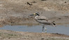 A Great Thick-knee along a pond edge in Bundala NP. (Photo by Megan Crewe)