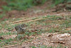 A Jerdon's Bushlark looks for tidbits right beside the track in Udawalawe National Park. (Photo by Megan Crewe)