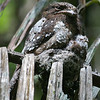 """Ceylon Frogmouth <div id=""""caption_tourlink"""" align=""""right""""> [photo © Mike Crewe]</div>"""