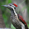 """Black-rumped Flameback <div id=""""caption_tourlink"""" align=""""right""""> [photo © Mike Crewe]</div>"""