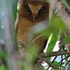 "Serendib Scops-Owl <div id=""caption_tourlink"" align=""right""> [photo © Mike Crewe]</div>"