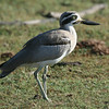 """Great Thick-knee <div id=""""caption_tourlink"""" align=""""right""""> [photo © Mike Crewe]</div>"""