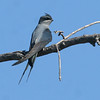 """Crested Treeswift <div id=""""caption_tourlink"""" align=""""right""""> [photo © Mike Crewe]</div>"""