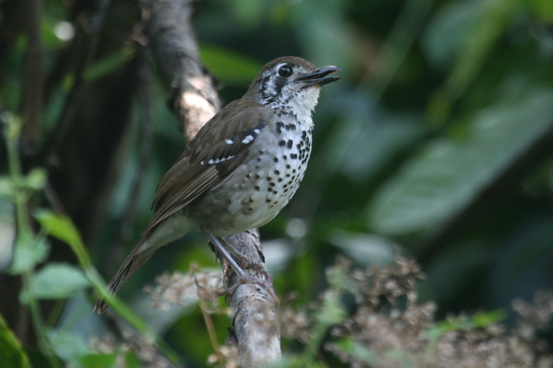 """Spot-winged Thrush <div id=""""caption_tourlink"""" align=""""right""""> [photo © Mike Crewe]</div>"""