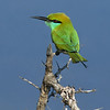 """Green Bee-eater <div id=""""caption_tourlink"""" align=""""right""""> [photo © Mike Crewe]</div>"""