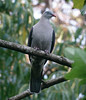 "Mountain Imperial-Pigeon <div id=""caption_tourlink"" align=""right""> [photo © guide Dave Stejskal]</div>"