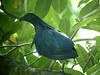 """Nicobar Pigeon on our extension visit to Similan Island [note the yellow toenails!] <div id=""""caption_tourlink"""" align=""""right""""> [photo © guide Rose Ann Rowlett]</div>"""