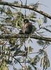 """Dusky Leaf Monkey <div id=""""caption_tourlink"""" align=""""right""""> [photo © guide Dave Stejskal]</div>"""