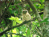 """This Brown Hawk-Owl was calling during the day at Khao Yai in March. <div id=""""caption_tourlink"""" align=""""right""""> [photo © guide Rose Ann Rowlett]</div>"""