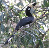 "Oriental Pied Hornbill <div id=""caption_tourlink"" align=""right""> [photo © guide Dave Stejskal]</div>"