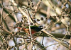 "Pin-tailed Parrotfinch  <div id=""caption_tourlink"" align=""right""> [photo © guide Dave Stejskal]</div>"