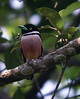 "Black-and-yellow Broadbill <div id=""caption_tourlink"" align=""right""> [photo © guide Dave Stejskal]</div>"
