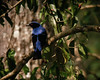 "Asian Fairy Bluebird <div id=""caption_tourlink"" align=""right""> [photo © guide Dave Stejskal]</div>"