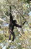"White-handed Gibbon <div id=""caption_tourlink"" align=""right""> [photo © guide Dave Stejskal]</div>"