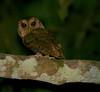 "Collared Scops Owl <div id=""caption_tourlink"" align=""right""> [photo © guide Dave Stejskal] </div>"