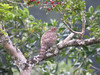 "Crested Goshawk juvenile, Cuc Phuong National Park <div id=""caption_tourlink"" align=""right""> [photo © guide Uthai Treesucon] </div>"