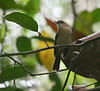 "Scaly-crowned Babbler. <div id=""caption_tourlink"" align=""right""> [photo © guide Dave Stejskal] </div>"