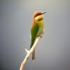"Chestnut-headed Bee-eater <div id=""caption_tourlink"" align=""right""> [photo © guide Dave Stejskal] </div>"