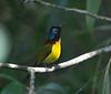 "Green-tailed Sunbird. <div id=""caption_tourlink"" align=""right""> [photo © guide Dave Stejskal] </div>"