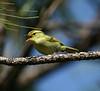 """White-tailed Leaf-Warbler.<div id=""""caption_tourlink"""" align=""""right""""> [photo © guide Dave Stejskal] </div>"""