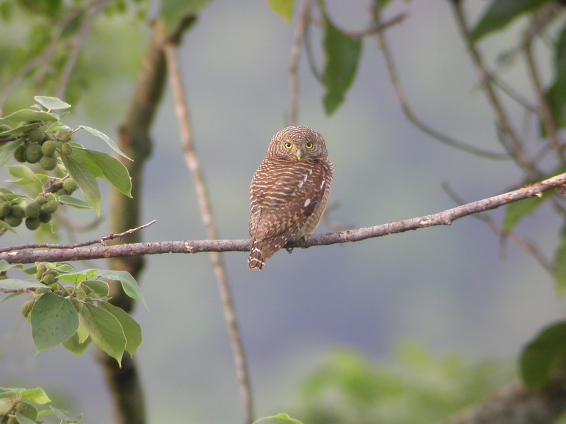 """Asian Barred Owlet from Nam Cat Tien National Park <div id=""""caption_tourlink"""" align=""""right""""> [photo © guide Uthai Treesucon] </div>"""