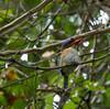 """Banded Kingfisher. <div id=""""caption_tourlink"""" align=""""right""""> [photo © guide Dave Stejskal] </div>"""