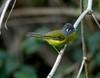 "Gray-cheeked Warbler. <div id=""caption_tourlink"" align=""right""> [photo © guide Dave Stejskal] </div>"