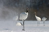 "Red-crowned Cranes at Akan <div id=""caption_tourlink"" align=""right""> [photo © guide Phil Gregory]</div>"