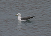 "Black-tailed Gull <div id=""caption_tourlink"" align=""right""> [photo © guide Phil Gregory]</div>"