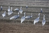 "Whit-naped Cranes <div id=""caption_tourlink"" align=""right""> [photo © guide Phil Gregory]</div>"