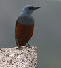 "Blue Rock-Thrush male of the <i>philippensis</i> subspecies on Okinawa, a likely split, too <div id=""caption_tourlink"" align=""right""> [photo © guide Phil Gregory]</div>"
