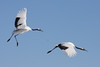 "Red-crowned Cranes <div id=""caption_tourlink"" align=""right""> [photo © guide Phil Gregory]</div>"