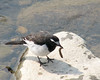 """Japanese Wagtail <div id=""""caption_tourlink"""" align=""""right""""> [photo © participant John Hardister]</div>"""